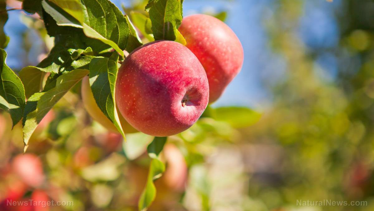 Apples Background Branch Food Fruit Garden Greens